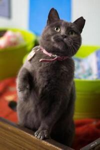 "Adult Female Cat - Domestic Short Hair: ""Kim"""