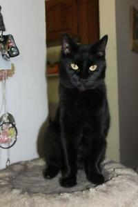 "Adult Male Cat - Domestic Short Hair (Black): ""Trouble"""