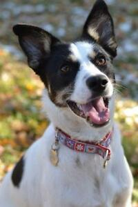 "Adult Female Dog - Border Collie-Jack Russell Terrier: ""Jill"""