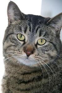 "Young Female Cat - Tabby - Grey: ""Ronnie"""