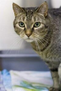 "Adult Male Cat - Domestic Short Hair: ""Jinx"""