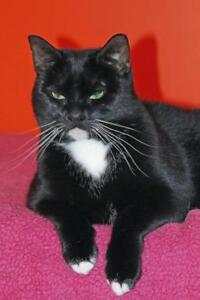 """Adult Female Cat - Domestic Short Hair: """"Polly"""""""