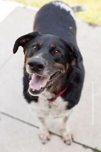 "Adult Female Dog - Border Collie-Shepherd: ""Molly"""