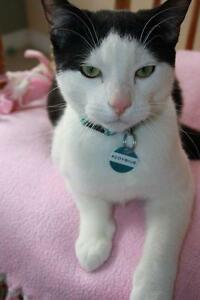 """Young Male Cat - Domestic Short Hair-black and white: """"Aloysius"""""""