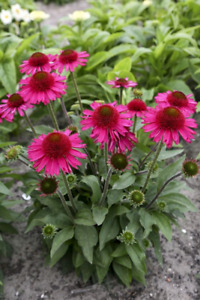 Delicious Candy Coneflower