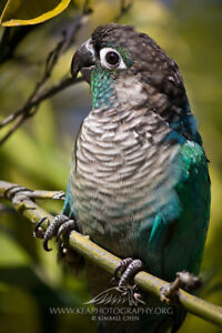I WANT Adult MALE Yellowsided or Pineapple Conure for Breeding