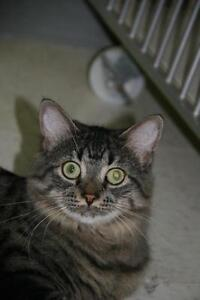 "Young Female Cat - Tabby - Grey: ""Monica"""