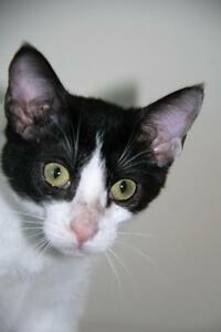 "Baby Female Cat - Domestic Short Hair (Black & White): ""Pixie"""
