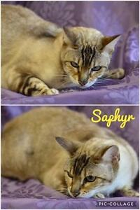 "Adult Female Cat - Bengal: ""Saphyr"""