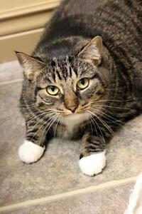 "Adult Female Cat - Domestic Short Hair: ""Precious"""