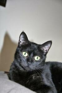 "Young Female Cat - Domestic Short Hair (Black): ""Onyx"""