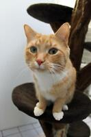 "Young Male Cat - Tabby - Orange: ""Konrad"""