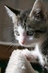 "Baby Male Cat - Tabby - Grey: ""Welling"""