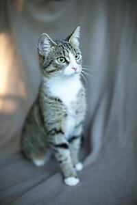 "Adult Female Cat - Tabby: ""Layla"""