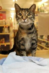 "Adult Female Cat - Domestic Short Hair-Tabby: ""Varria"""