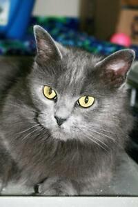 "Young Female Cat - Domestic Long Hair-gray: ""Mai Tai"""