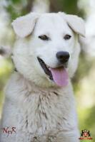 "Young Female Dog - Husky: ""Lizzy"""