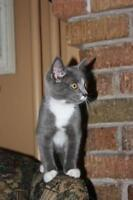 """Baby Female Cat - Domestic Short Hair - gray and white: """"Lily"""""""