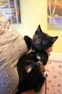 "Baby Female Cat - Domestic Short Hair: ""Pansy"""