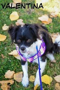 """Young Female Dog - Pekingese-Chihuahua: """"Valentina"""""""