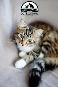 """Young Female Cat - Domestic Long Hair - brown-Tabby: """"Luna"""""""
