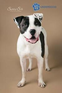 "Adult Male Dog - American Bulldog-Boxer: ""Simba"""