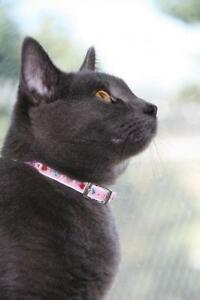"Young Female Cat - Domestic Short Hair-gray: ""Kenzi"""