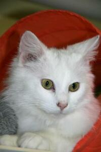"Young Male Cat - Domestic Long Hair (White): ""Charlie"""
