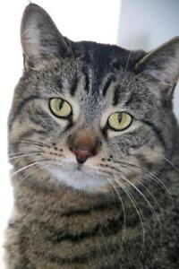 """Young Female Cat - Tabby: """"Ronnie"""""""