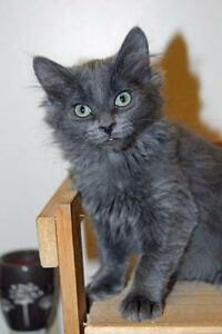 "Baby Male Cat - Domestic Medium Hair-gray: ""Wallabee"""