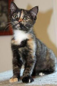 "Baby Female Cat - Tortoiseshell: ""Sheleigh"""