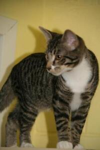 "Young Male Cat - Tabby - Grey: ""Swiper"""