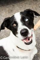 "Young Male Dog - Pointer-Dalmatian: ""Johnny"""