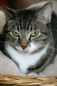 "Adult Male Cat - Tabby - Grey: ""Diego"""