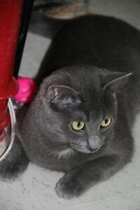 "Adult Female Cat - Domestic Short Hair-gray: ""Olivia"""