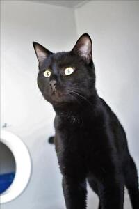 "Adult Male Cat - Domestic Short Hair: ""Melvin"""