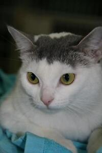 """Young Female Cat - Domestic Short Hair - gray and white: """"Lulu"""""""