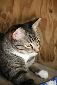 """Young Male Cat - Tabby - Grey: """"Diego the Explorer!"""""""