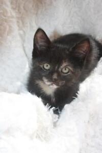 """Baby Female Cat - Tortoiseshell: """"Kiki"""""""