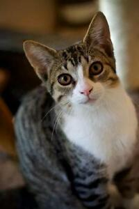 Female Cat - Domestic Short Hair - gray and white-Tabby - Brown London Ontario image 1