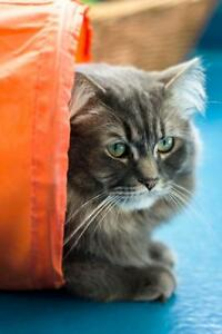 """Adult Male Cat - Domestic Long Hair-gray: """"Angel - IN FOSTER"""""""