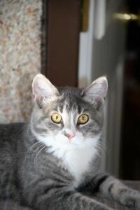"""Young Female Cat - Tabby - Grey: """"Violet"""""""