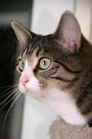 """Young Female Cat - Tabby - Grey: """"Athena"""""""