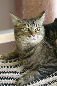 "Adult Female Cat - Domestic Short Hair-Tabby: ""Theta"""