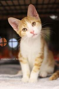 "Baby Male Cat - Domestic Short Hair: ""Beau"""