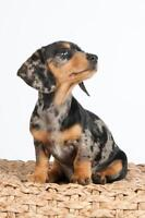 Looking for a Dachshund Puppy