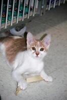 "Baby Male Cat - Domestic Short Hair - orange and white: ""Ramsey"""