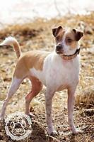 """Young Male Dog - Chihuahua-Jack Russell Terrier: """"Polo"""""""