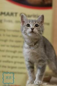 "Baby Female Cat - Domestic Short Hair-Tabby: ""Amy"""