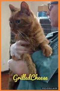 "Adult Male Cat - Domestic Short Hair: ""GRILLED CHEESE"""